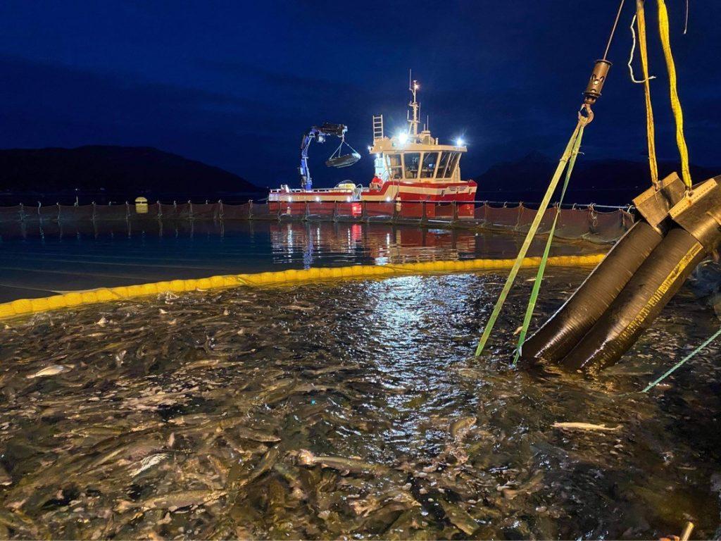 SLAKTEKLAR: Laksen fra Bremnesøya ble hentet av brønnbåt 2. januar 2021 og transportert til slakteriet.